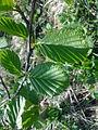 Feuilles d'un arbre non-identifié à Grez-Doiceau 003.jpg