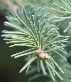 English: Leaves of the White Spruce (Picea gla...