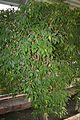 Ficus Estrangulado (1) (11983380834).jpg