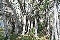 Ficus benghalensis 6zz.jpg