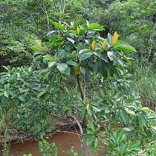 <i>Ficus benguetensis</i> Species of fig