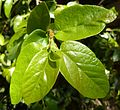 Ficus pumila, lenteloof, b, Pretoria.jpg