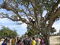 Ficus sycomorus Ashkalon 3.jpg