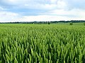Field of wheat - geograph.org.uk - 466693.jpg