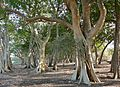 Fig Tree Forest (31592113723).jpg