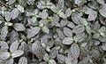 Fittonia albivenis (18717124381).jpg