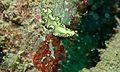 Flat Worm (Pseudobiceros sp.) - Artificial Reef, Pulau Mabul, Sabah, Malaysia.jpg