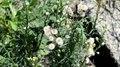 File:Flax-leaf fleabane (Erigeron bonariensis).webm