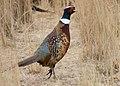 Flickr - Oregon Department of Fish & Wildlife - 121 ring necked pheasant swart odfw.jpg