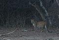 Flickr - Rainbirder - Leopard at dusk..jpg