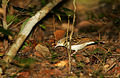 Flickr - Rainbirder - Sokoke Pipit (Anthus sokokensis) with a spider.jpg