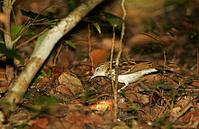 Flickr - Rainbirder - Sokoke Pipit (Anthus sokokensis) with a spider.jpg