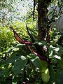 Flickr - brewbooks - Dracunculus vulgaris in our garden (2).jpg