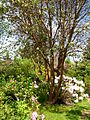 Flickr - brewbooks - Madrone - John M's garden.jpg