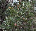Flickr - brewbooks - Telopea truncata (Tasmanian Waratah).jpg