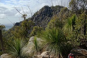 Teviot Range - Rocks and grass-tress on the way to Flinders peak (close)