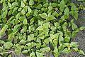 Flora of Calicut 5418.jpg