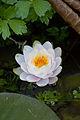 Flower, Water Lily - Flickr - nekonomania (2).jpg