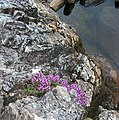 Flowering alpine on rock spike - geograph.org.uk - 200432.jpg