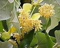 Flowering tree, Tilia sp.? (44162881284).jpg