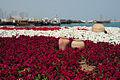 Flowers on Al Corniche (5537903794).jpg