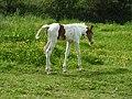 Foal (18404860041).jpg