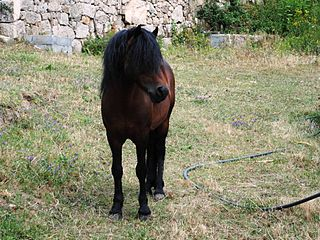 breed of small horse from Galicia, Spain