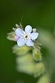 Forget-Me-Not (Myosotis sp.) - Kitchener, Ontario.jpg