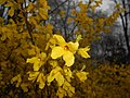 Forsythia intermedia 2016-04-08 6960.JPG