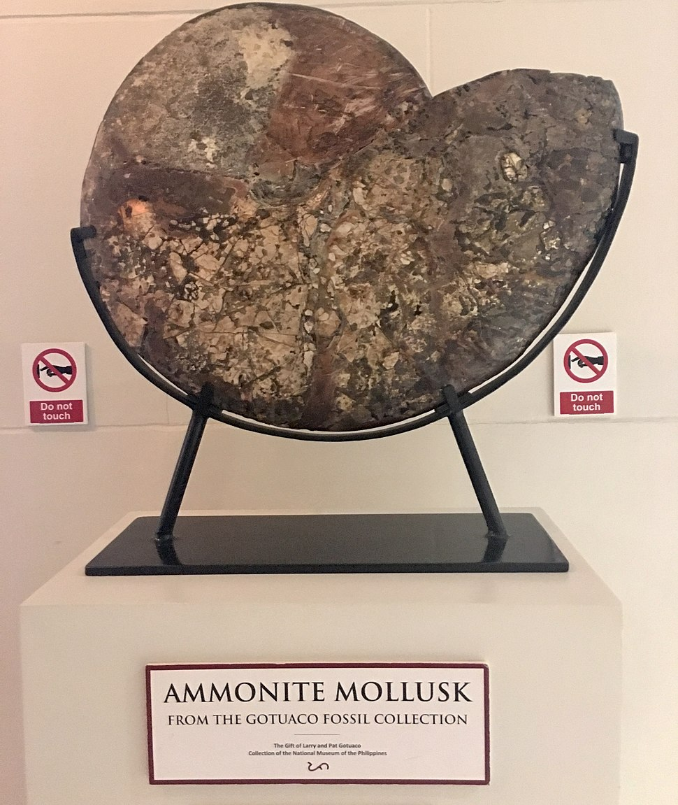 Fossilized Ammonite Mollusk displayed at Philippine National Museum