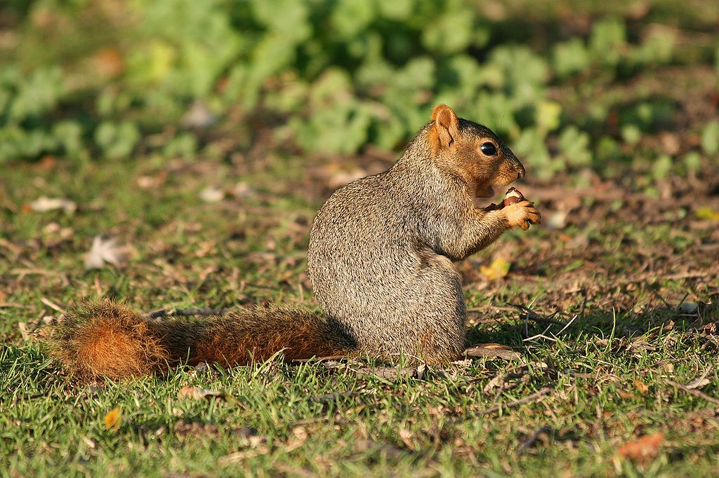 Veverica líščia (lat. Sciurus niger)