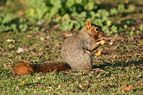 Fox squirrel2.jpg
