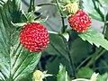 Fragaria vesca (fruit), Ringerike, Norway.jpg