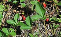 Fragaria virginiana (wild strawberry) (Great Smoky Mountains, Tennessee, USA) 1 (36641037730).jpg
