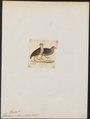 Francolinus natalensis - 1820-1863 - Print - Iconographia Zoologica - Special Collections University of Amsterdam - UBA01 IZ17100055.tif