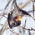 Fruit bat (flying fox) (36579351291).jpg