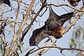 Fruit bat (flying fox) (36717966885).jpg