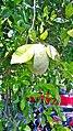 Fruto de el limon swingla.jpg
