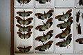 Fulgoridae Drawers - 5036109731.jpg