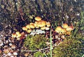 Fungi by tree on The Plain in Epping Forest - geograph.org.uk - 384092.jpg