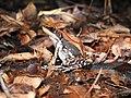 Fungoid Frog Hydrophylax malabaricus by Dr. Raju Kasambe best DSCN1028 (4).jpg