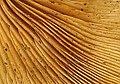 Fungus gills - geograph.org.uk - 1586828.jpg