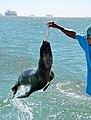 Fur seal, Walvis Bay (Namibia).jpg