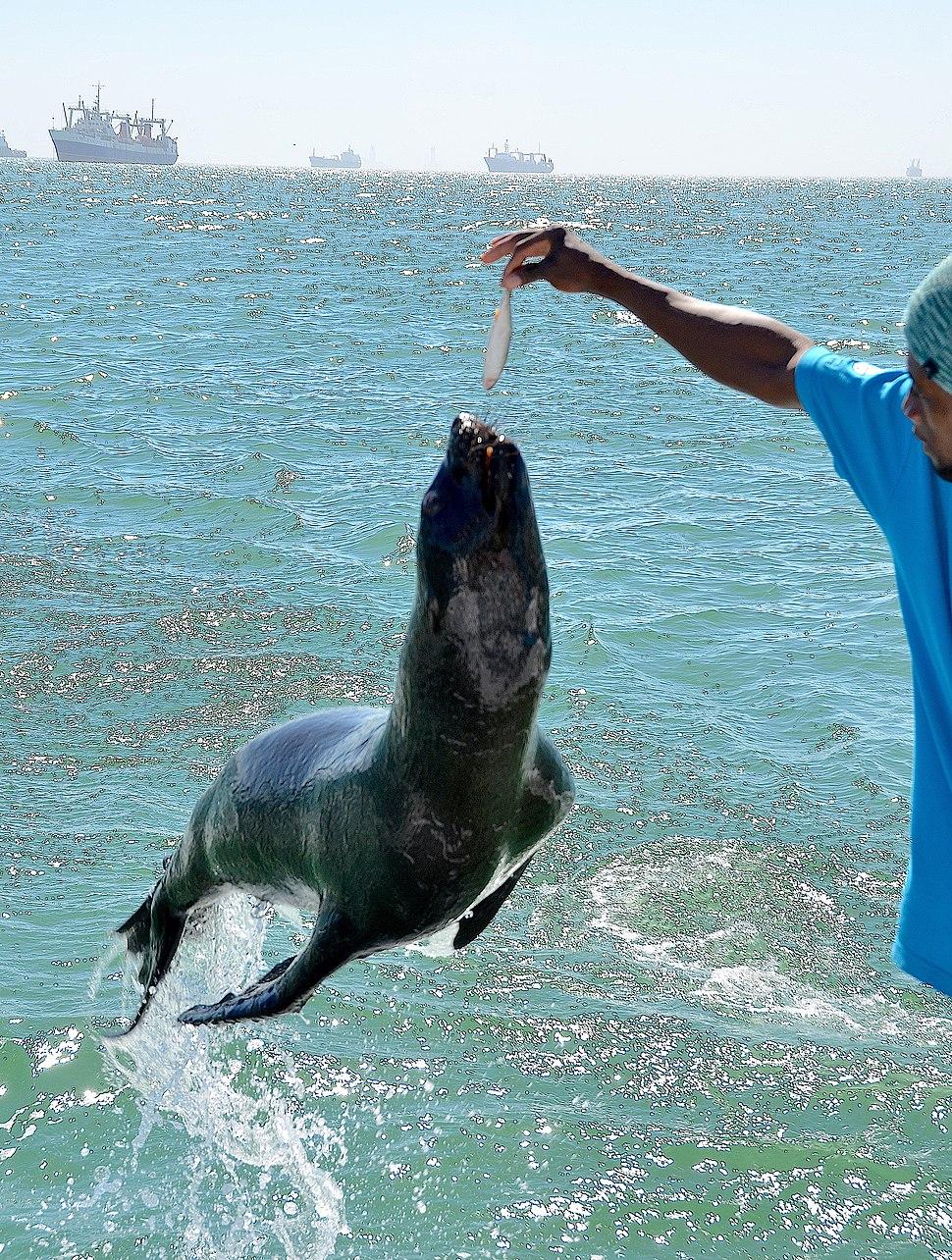 Fur seal, Walvis Bay (Namibia)
