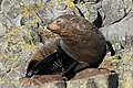 Fur seal sitting on a rock, scratching itself.jpg