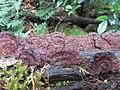 Fuscoporia formosana (T.T. Chang & W.N. Chou) T. Wagner & M. Fisch 830370.jpg
