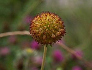 Gaillardia pulchella - Gaillardia pulchella seedhead