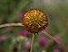 Gaillardia in Aspen (91285).jpg
