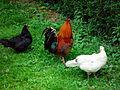 Gallo e galline a Mirano.jpg
