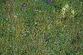 Garden lawn moss at Nuthurst, West Sussex, England 01.jpg